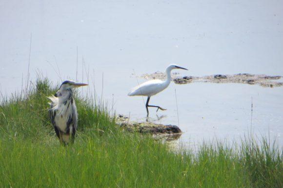 Heron & Egret living in harmony